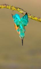 Worcs Kingfishers-0018.jpg