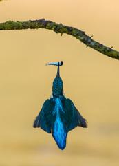 Worcs Kingfishers-0029.jpg