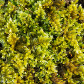 Carpet Of Moss