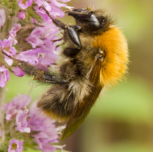 Common Carder