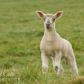 Lamb9