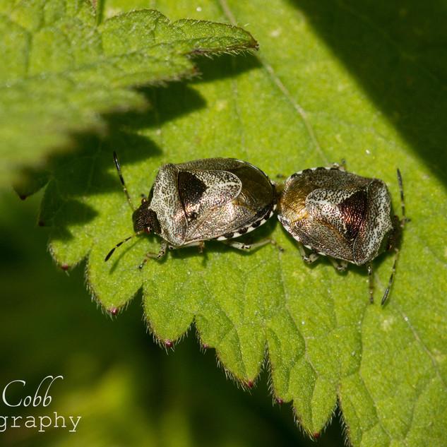 Woundwort Shield Bug
