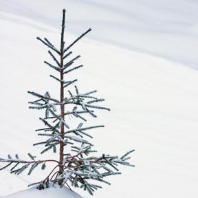 Charlie Browns Tree