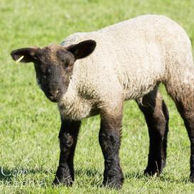 Lamb10
