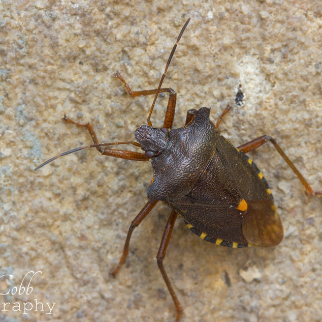 Red Legged Shield Bug