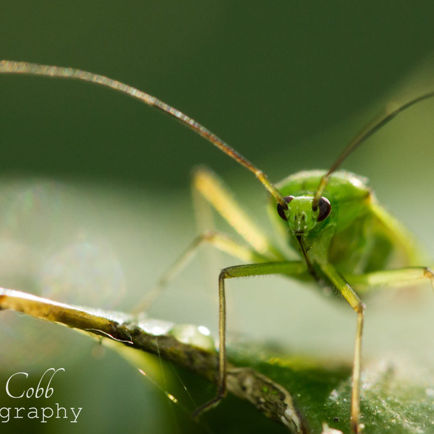 Common Green Capsid