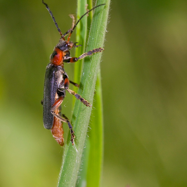 Large Soldier Beetle
