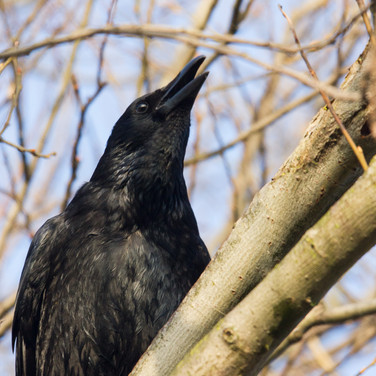 Crows calling