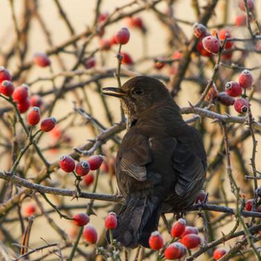 Among the berries