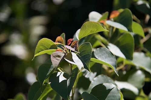 Sapium baccatum Ludai 5 Seeds RARE