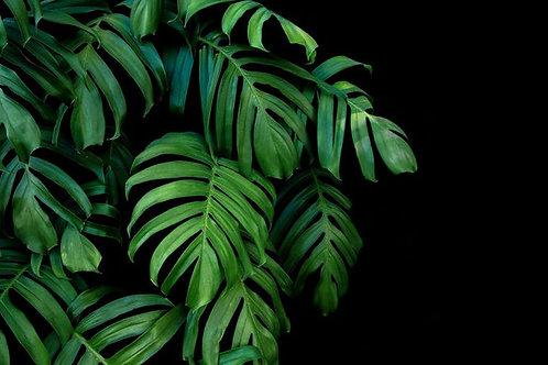 Rhaphidophora decursiva - Creeping Philodendron - 10 Seeds