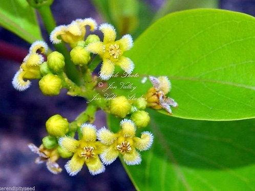 Decalepis hamiltonii Swallow Root Tree 10 Seeds