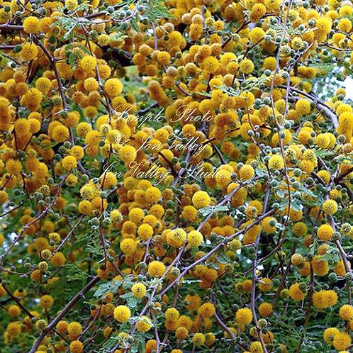 Acacia farnesiana Mimosa Sweet Acacia 10 Seeds