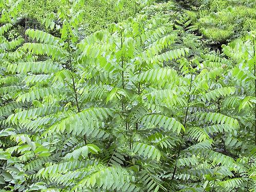 Cedrela odorata Tropical Cedar seeds