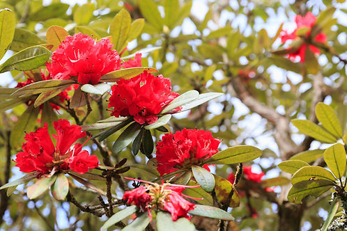 Rhododendron arboreum 20 Seeds