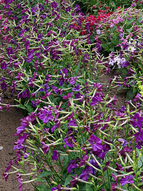 50 Seeds Nicotiana Purple Perfume Flowering Tobacco Nicotiana x sandarae