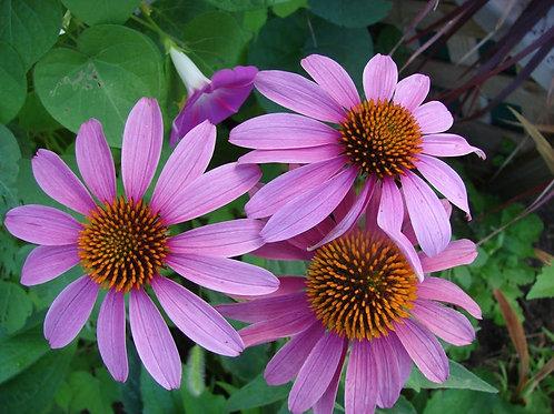 50 Seeds -Purple Coneflower=-Bright Purple Flowers - Seed Pack- Echinacea