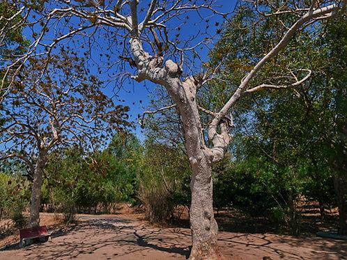Sterculia urens 5 Rare Tropical seeds Gum Karaya