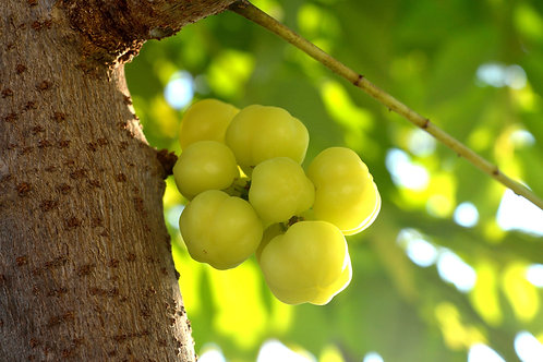 Phyllanthus emblica Indian Gooseberry Seeds Tropical plant