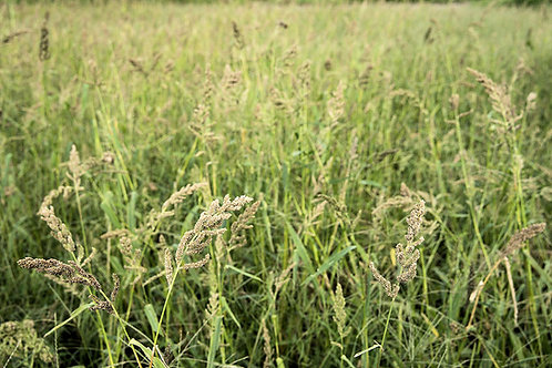 Japanese Millet Seeds Forage crop ground cover - erosion control Bird Seed