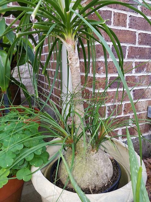 Beaucarnea recurvata Ponytail Palm Tree Seeds