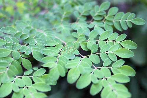 Moringa oleifera PKM1 Seeds Horseradish Tree Very Limited Supply