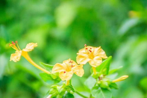 Serendipity's 4 O'clock Yellow Flower Seeds Four o clock