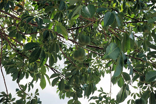 Hevea brasiliensis Para Rubber Tropical Tree  Seeds