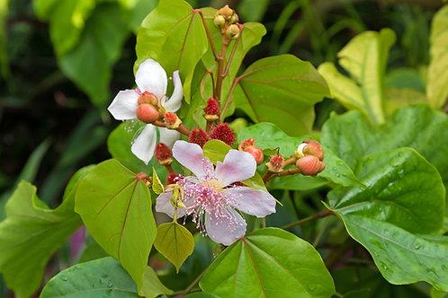 Bixa orellana Lipstick tree Seeds Annatto