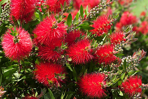 Callistemon citrinus -Crimson Bottlebrush seeds