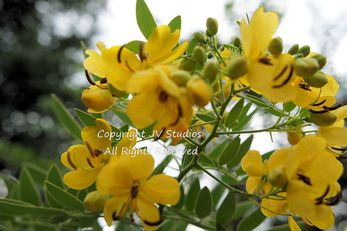 Cassia spectabilis Yellow Candle Tree seed