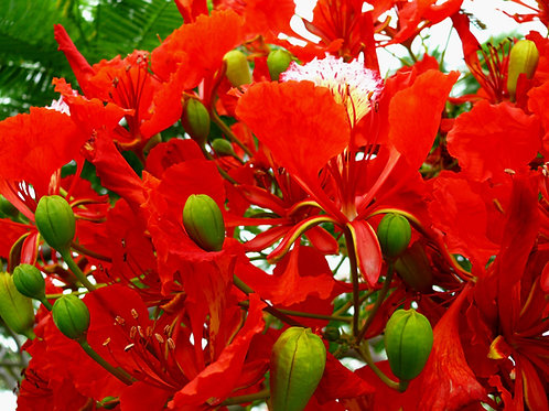 Delonix regia Flame Tree seeds