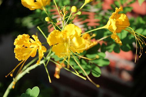 Caesalpinia pulcherrima Yellow Peacock  seeds