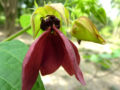 Abroma augusta Devils Cotton 5 seeds