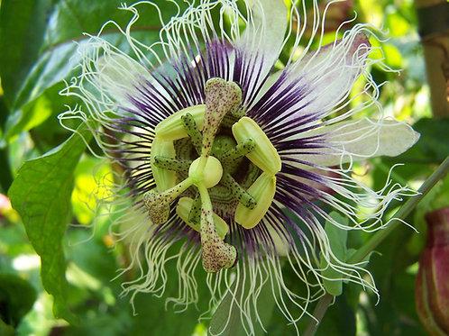 Passiflora edulis Passion Flower Seeds