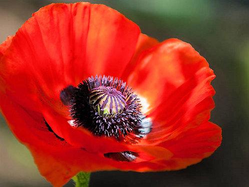 Poppy Red Corn App 100 Premium Seeds