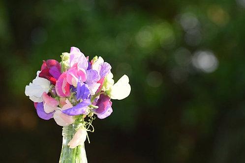 25 Seeds Sweet Pea Bijou Mix Seed Pack - Rainbow Flowers- Dwarf Variety