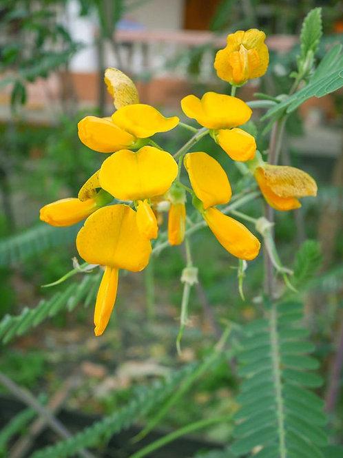 Egyptian Riverhemp 10 Seeds - Sesbania sesban