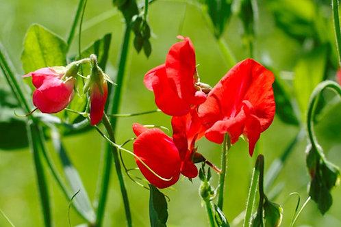 10 Seeds Sweet Pea Royal Scarlet Seed Pack -Rainbow Flowers