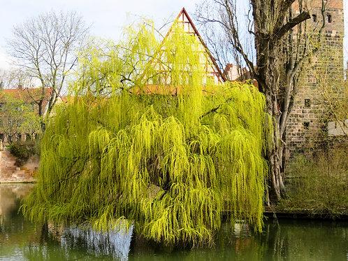 Betula pendula European Birch Weeping Birch
