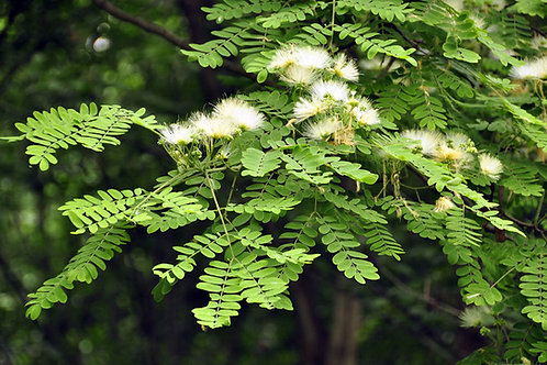 Albizia procera White Siris Tree Tropical Seeds