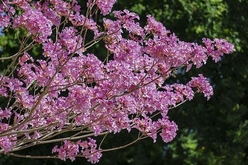 Handroanthus imppetiginosus -Rare Tropical seeds Pink Lapacho -Pink Flowers