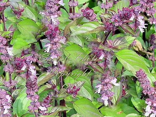 Cinnamon Basil 300 Herb Seeds
