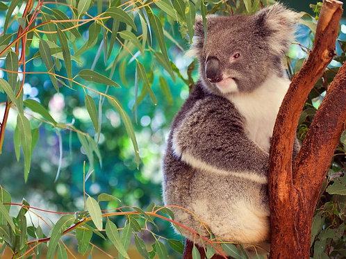 Eucalyptus robusta Seeds Bonsai standard or container growing Swamp Mahogany