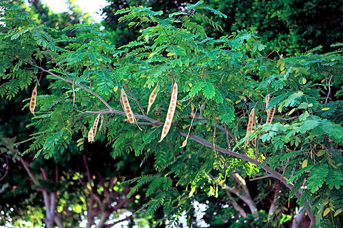 Albizia Lebbeck Mimosa Tree Fast Grower good Container-Bonsai  10 Seeds