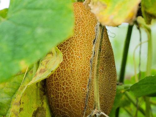 Poona Kheera Cucumber- 10 seeds - Rare Vegetable Heirloom