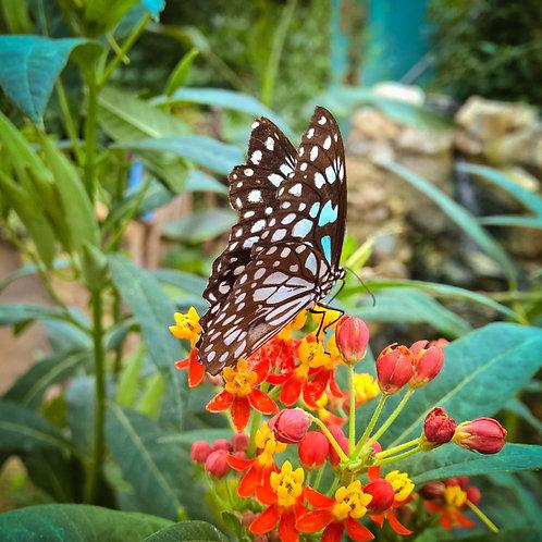 Premium seeds Tropical Milkweed Asclepias curassavica -Annual/Perennial
