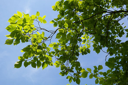 Ulmus parvifolia Chinese Lacebark Elm Seeds