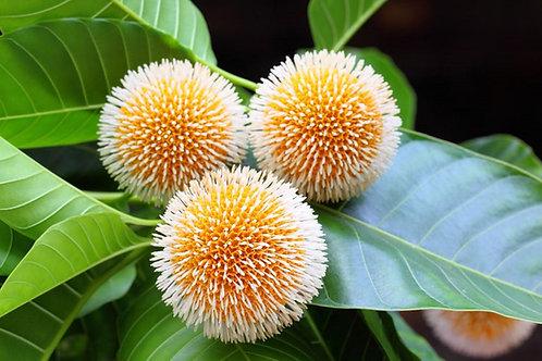 Neolamarckia cadamba Kadam Tree Seeds