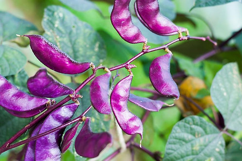Lablab purpureus Hyacinth Egyptian Kidney Bean